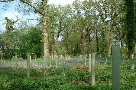 Newly underplanted peripheral woodland